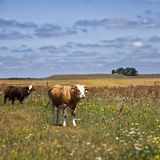 Cows in the meadow Royalty Free Stock Photos