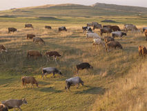 Cows on a meadow landscape. Taken in sunrise Royalty Free Stock Photography