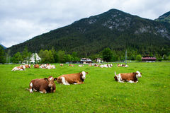 Cows on the meadow Stock Photography