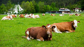 Cows on the meadow Royalty Free Stock Photos