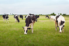 Cows in the meadow. Cows in a lush green field under blue skies Royalty Free Stock Photo