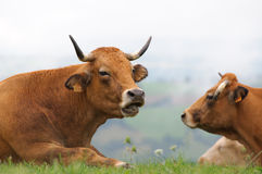 Cows in meadow with misty hills stock image