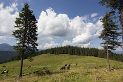 Cows on meadow with mountains range and blue cloudy sky background Royalty Free Stock Image
