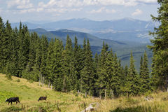 Cows on meadow with mountains range and blue cloudy sky background Royalty Free Stock Photos