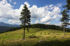 Cows on meadow with mountains range and blue cloudy sky background Stock Image