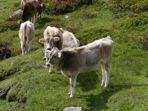 Cows in a meadow in the mountains of Switzerland Royalty Free Stock Images