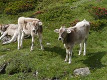 Cows in a meadow in the mountains of Switzerland Stock Image