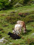 Cows in a meadow in the mountains of Switzerland Stock Images