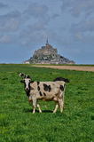 Cows in a meadow near the Mont Saint Michel in Normandie Royalty Free Stock Photo