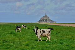 Cows in a meadow near the Mont Saint Michel in Normandie Stock Photo