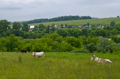 Cows in the meadow Stock Photography