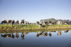 Cows in a meadow near zeist in the Netherlands. With reflections in the water of a canal royalty free stock images
