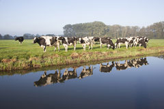 Cows in a meadow near zeist in the Netherlands. With reflections in the water of a canal royalty free stock photo