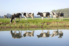 Cows in a meadow near zeist in the Netherlands. With reflections in the water of a canal stock photo