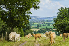 Cows in the meadow. In Normandy Stock Image