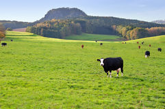 Dairy cows in a green meadow. Peaceful landscape with cows. The photo has been taken in german region Struppen which is called the Saxon Switzerland and located royalty free stock images