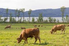 Cows on a meadow stock photos