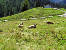 Cows in the meadow and small shelter in the hills. Some cows lying on the meadow in Alps and a small mountain shelter with pathway to it away Royalty Free Stock Photo