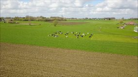 Cows in a meadow in spring stock footage