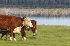 Cows at a meadow. Cows standing at meadow by the lake Royalty Free Stock Photo