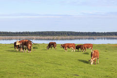 Cows at a meadow. Cows standing at meadow by the lake Stock Photography