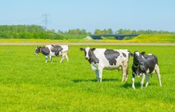 Cows in a meadow in summer Royalty Free Stock Photos