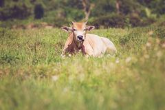 Cows on a meadow Royalty Free Stock Photography