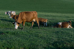 Cows on a meadow at sunset Royalty Free Stock Photography