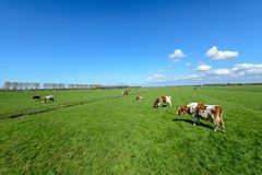 Cows in the meadow in a typical Dutch polder landscape near Rott Royalty Free Stock Photography
