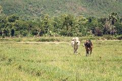 Cows on meadow Stock Photos