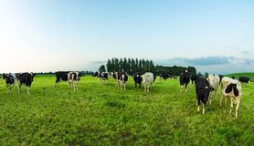 Cows in the meadow - wide angle shot. Multiple cows on a grassy field Royalty Free Stock Photo