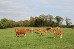 Cows in meadows Stock Photography