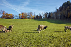 Cows on meadows above Lake Lucerne, Switzerland Royalty Free Stock Photo