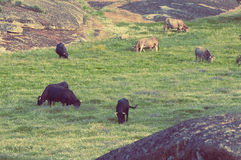 Cows in the meadows in Extremadura, Spain Royalty Free Stock Photography