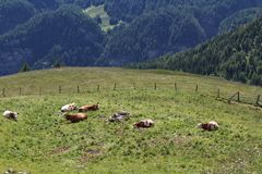Cows in the meadows on the Grossglockner Stock Photos