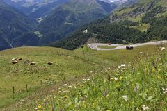 Cows in the meadows on the Grossglockner Royalty Free Stock Photo