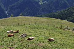 Cows in the meadows on the Grossglockner Stock Image