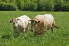 Cows in meadows Royalty Free Stock Photos