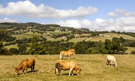 Cows in the meadows. In a sunny day royalty free stock photography