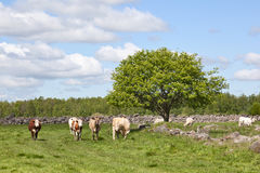 Cows on medow Royalty Free Stock Photography