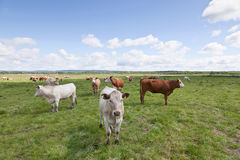 Cows on medow Royalty Free Stock Images
