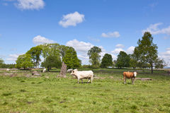 Cows on medow Stock Image