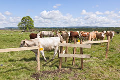 Cows on medow Royalty Free Stock Image
