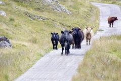 Cows in the middle of a country road stock photos