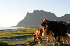 Cows in the midsummer sun. In Utakleiv in Norway. From Utakleiv it is a superb view on the Norwegian sea Royalty Free Stock Photos