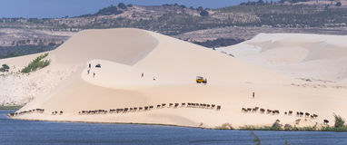 Cows migrate through the white sand hills. Muine, Vietnam - March 30th, 2017: Cows migrate through the white sand hills at noon in the amazement of visitors are Stock Images