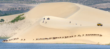 Cows migrate through the white sand hills Royalty Free Stock Photos