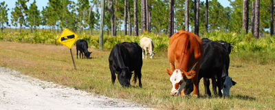 Cows on Military Base Royalty Free Stock Images
