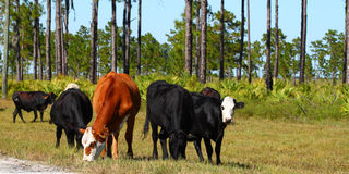 Cows on Military Base Royalty Free Stock Photo