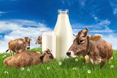 Cows with milk bottle on meadow Stock Image